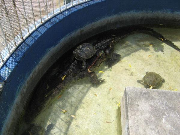 Eingezäunter Teich mit Schildkröten und einem Krokodil im Parque Central.